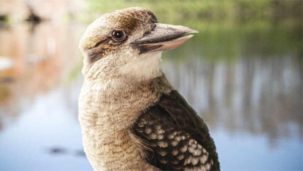 Kookaburra de Gatorland